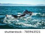 whales on water in gulf of... | Shutterstock . vector #785963521