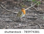 curious little robin | Shutterstock . vector #785974381