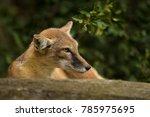 The Corsac Fox  Vulpes Corsac ...
