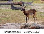 A Male Nile Lechwe  Kobus...