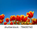 Tulip Field Under Blue Sky