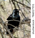 Small photo of Close up of a American Crow bird (Corvus brachyrhynchos, perched on a branch of a bare tree.