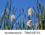 a bunch of seed heads of... | Shutterstock . vector #786018751