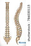 spine structure. front and side ... | Shutterstock .eps vector #786030115