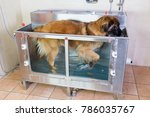 picture of a leonberger dog in... | Shutterstock . vector #786035767