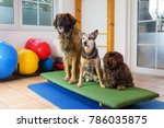 a leonberger  an australian... | Shutterstock . vector #786035875