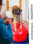 woman works with a leonberger... | Shutterstock . vector #786035959