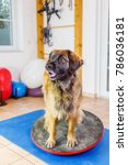 Small photo of Leonberger sits on a wobble board in an animal physiotherapy office