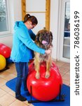 woman works with a leonberger... | Shutterstock . vector #786036199
