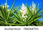 Yucca Plant .white Exotic...