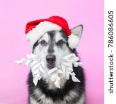 Small photo of alaskan malamute in Christmas and new year costume on pink background