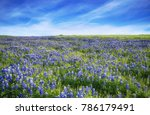 Texas Bluebonnet Field Bloomin...