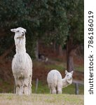 Alpaca In Paddock Looks With...