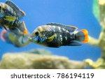 Small photo of Turquoise acara in the aquarium