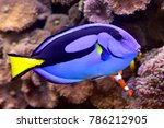Palette Surgeonfish In An...
