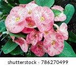 closeup poi sian flowers pink...   Shutterstock . vector #786270499