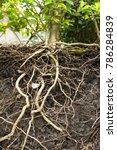 Small photo of Underground tree root