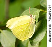 Small photo of Common brimstone (Gonepteryx rhamni) on prune leaf (Prunus) - side view