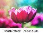 purple flower tulip lit by... | Shutterstock . vector #786316231