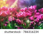 purple flower tulip lit by... | Shutterstock . vector #786316234