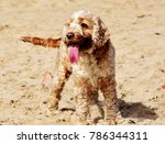 cocker spaniel tongue out on... | Shutterstock . vector #786344311