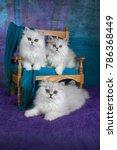 Stock photo three chinchilla kittens 786368449