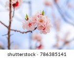 beautiful cherry blossom  ... | Shutterstock . vector #786385141