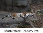Big Tiger Sleeping In A City Zoo
