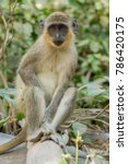 Small photo of Wild Green Vervet Monkeys in Bigilo forest park located in The Gambia, West Africa