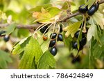 wild golden currant. small or... | Shutterstock . vector #786424849