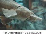 Small photo of Atlantic sturgeon in the zoo. Acipenser oxyrinchus oxyrinchus.