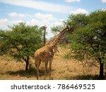 giraffes eating  ngorongoro... | Shutterstock . vector #786469525