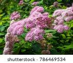 japanese spirea  spiraea...   Shutterstock . vector #786469534
