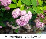 japanese spirea  spiraea...   Shutterstock . vector #786469537