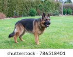 two years old purebred german... | Shutterstock . vector #786518401