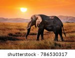 Wild Elephant In The African...