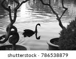 Black Swan Reflected In The...
