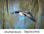 Canada Goose Flying In For A...