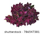 deep violet leaves with bright... | Shutterstock . vector #786547381