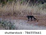 feral cat  felis silvestris... | Shutterstock . vector #786555661