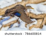 American Black Duck - stock photo
