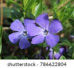 The Beautiful Purple Flowers O...