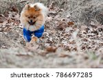 the wear  aggressive spitz dog... | Shutterstock . vector #786697285