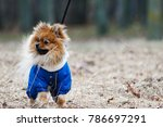 the wear  aggressive spitz dog... | Shutterstock . vector #786697291