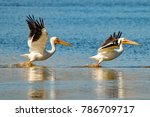 Two american white pelicans...