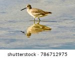 Willet Wading In Reflective...