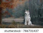 Siberian Husky In Autumn Park...