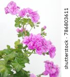 """blooming """"pac lilac rose ivy... 