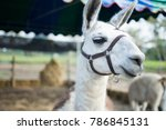 Llama Eating Dry Grass. Subjec...