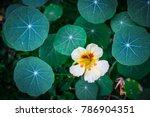nasturtium  indian cress ... | Shutterstock . vector #786904351